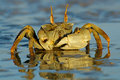 Ghost Crab Royalty Free Stock Photography - 2533907