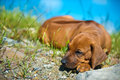 Cute Rhodesian Ridgeback Puppy Stock Photo - 25300440