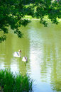 Swans On The River Royalty Free Stock Photos - 25300598