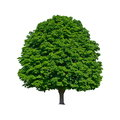 Large Green Chestnut Tree Grows In Isolation Royalty Free Stock Photography - 25304497