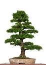 Old Chinese Elm As Bonsai Tree Stock Image - 25305461