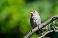 House Sparrow Perched In A Tree Stock Images - 25307584
