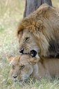 Lion And Lioness Stock Images - 25316164