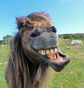 Laughing Horse Stock Image - 25316361