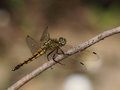 Yellow Dragonfly Royalty Free Stock Images - 25329859