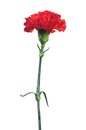 Red Carnation Isolated On White Royalty Free Stock Images - 25336559