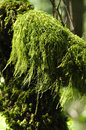 Forest Moss Stock Images - 25337184