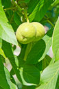 Early Green Nuts Stock Images - 25353174
