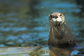 North American River Otter Royalty Free Stock Photos - 25365408