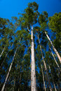 Gum Trees Vertical Skywards Royalty Free Stock Photo - 25375065