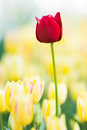 Red Tulip Royalty Free Stock Images - 25381859