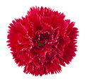 Red Carnation Flower Royalty Free Stock Photography - 25383887