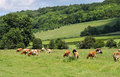 Grazing Cattle In An English Meadow Royalty Free Stock Image - 25386346