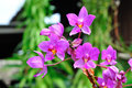 Violet Orchid Royalty Free Stock Images - 25391369