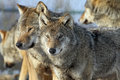 Couple Of Wolves Royalty Free Stock Photo - 25399755