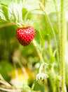 Wild Strawberries Royalty Free Stock Images - 2546209