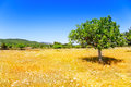 Ibiza Agriculture With Fig Tree And Wheat Stock Images - 25413214