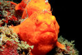 Painted Frogfish Stock Image - 25414251