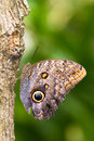 Owl Butterfly Stock Image - 25432721