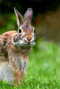 Eastern Cottontail (Sylvilagus Floridanus) Royalty Free Stock Photos - 25436548