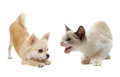 Aggressive Cat And Puppy Chihuahua Stock Photos - 25448343
