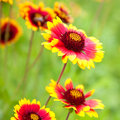 Beautiful Red Flowers Royalty Free Stock Images - 25452159
