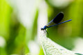 Male Banded Demoiselle Damselfly Dragonfly Stock Images - 25456524