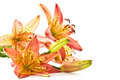 Lily Orange Royalty Free Stock Photography - 25469307