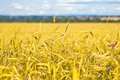 Ear Of Wheat Stock Image - 25470831