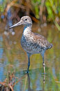 Willet Standing In Water Royalty Free Stock Image - 25472276