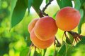 Ripe Apricots Royalty Free Stock Photography - 25472307