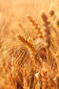 Spikes Of Wheat. Ripe Ears Of Corn Royalty Free Stock Photography - 25478087