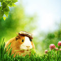 Funny Guinea Pig Or Cavia Royalty Free Stock Photography - 25478827