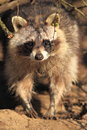 Raccoon Royalty Free Stock Images - 25494059