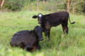 Cow And Calf Royalty Free Stock Photo - 25497315