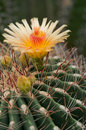 Cactus Blossom Royalty Free Stock Images - 25498839