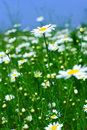 Meadow: Camomile Flowers Royalty Free Stock Photo - 2553705