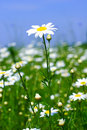 Meadow: Camomile Flowers Stock Images - 2553714