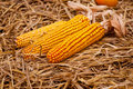 Decorative Dried Corn Stock Photo - 25502870