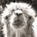 Camel Portrait (vintage Sepia Shot) Royalty Free Stock Photography - 25512807
