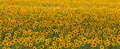 Sunflower Field Royalty Free Stock Photos - 25520268