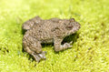 Yellow Bellied Toad (frog) On Green Moss Royalty Free Stock Image - 25529626