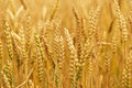 Fields Of Wheat Stock Photography - 25530062