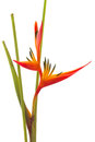 Tropical Flower Bird Of Paradise, Isolated Stock Images - 25543044
