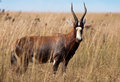 Blesbok Staring At Camera Royalty Free Stock Image - 25554026