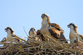 Osprey And Chicks Royalty Free Stock Photo - 25555095