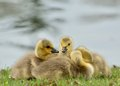 Canada Goose Goslings Royalty Free Stock Images - 25560719