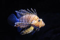 Red Lionfish Stock Photography - 25564582