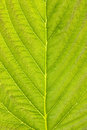 Texture Of Green Detailed Leaf Royalty Free Stock Photo - 25572245