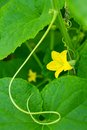 Yellow Flower Of The Cucumber Royalty Free Stock Images - 25573449